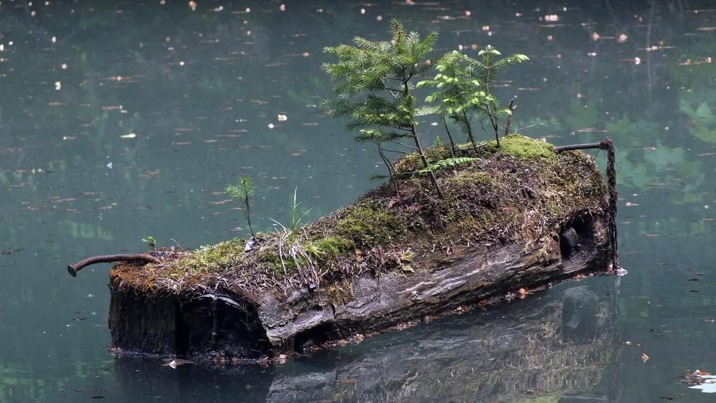 A natural crocodile in an Alpine pond