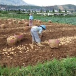Potato_harvest_China