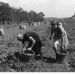 potato-harvest-b